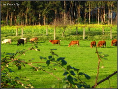 IMG_5774 (voaralto2) Tags: trees vegetables grass open cattle farm ground pergola