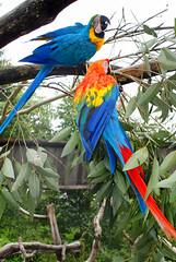 Arara Vermelha Pequena (acima uma Arara-Canind) (Arimm) Tags: bird animal scarlet macaw ara arara macao ararauna arimm