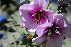 IMG_1776_January bees at the Arboretum (sdttds) Tags: arboretum bee davis honeybee ucdavis yolocounty purpleflowers purplegreen pollinator apismellifera