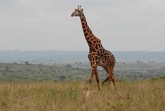 20141004_118 (zubaa) Tags: kamweti ke masaigiraffe giraffacamelopardalistippelskirchi nairobi nairobinationalpark