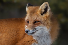 Red Fox (Phiddy1) Tags: ontario canada animals fox algonquin redfox