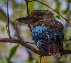 Blue-winged Kookaburra (Dacelo leachii) (NigelJE) Tags: bluewingedkookaburra kookaburra daceloleachii dacelo halcyonidae treekingfisher woodkingfisher howlingjackass barkingjackass leachskookaburra