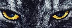 Cat eyes (mostaphaghaziri) Tags: black male eye yellow cat eyes nikon smoke siberian soe d7200