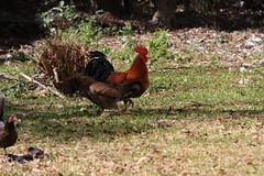 Canon201764 (godrudy6661) Tags: chickens chicken neworleans ninthward wildchicken feralchicken
