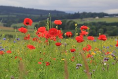 Poppies. (Seckington Images) Tags: poppies flowersflickr