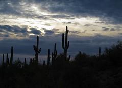 Hear the Coyotes Sing (zoniedude1) Tags: sunset arizona cactus sky southwest nature beauty skyline clouds skyscape outdoors visions evening solitude peace desert sundown silhouettes az adventure saguaro exploration discovery sonorandesert lookingwest saguarocactus maricopacounty carnegieagigantea zoniedude1 hieroglyphicmountains earthnaturelife canonpowershotg12 azskyscape pspx8 sundownatmospherics hearthecoyotessing