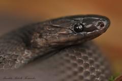 Ninia atrata - Close up - Ecuador (Budi Rebollo Fernandez) Tags: ecuador ninia atrata