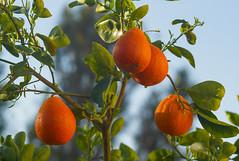 Last Tangerines of 2015 (Palenquero Quercus agrifolia) Tags: 90mm f28 elmarit leicam8 teleelmaritm teleelmarit90mmf28