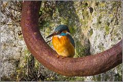 Kingfisher (F) on a mooring ring. (Smudge 9000) Tags: uk england birds unitedkingdom kingfisher gb ramsgate 2016 alcedo atthis