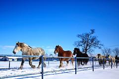 The Morning pleasure (ptalamy) Tags: morning winter horses horse snow color beautiful beauty japan nice hokkaido force power scene collar pleasure exciting yamamoto tokachi scamper masao 500px otofuketown
