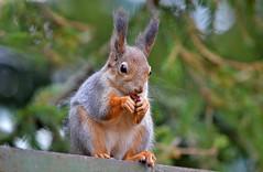 Breakfast Time For Squirrel :-) (L.Lahtinen) Tags: autumn cute animal breakfast suomi finland furry squirrel adorable orava elin syksy redsquirrel nikond3200 sp kurre suloinen 55300mm