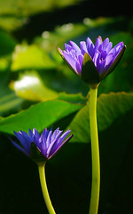 Blue water lily (judith511) Tags: waterlily nymphaeaceae nymphaeales naturethroughthelens