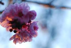 plum_20160213_11 (faeparsons) Tags: flowers blossoms plumblossoms