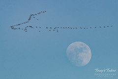 January 21, 2016 - A flock of geese and the moon in Adams County. (Tony's Takes)