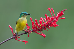 Collared sunbird (Hedydipna collaris) female perched on a red flower (Dave Montreuil) Tags: africa flower bird animal female adult south profile fulllength east malawi nectar perched sideview collared sunbird perching pollinator collaris hedydipna