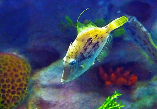 Greater Cleveland Aquarium 01-22-2015 - Planehead Filefish 2