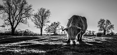Tales from the English countryside III (Frank Busch) Tags: greatbritain light blackandwhite bw tree monochrome field grass evening countryside blackwhite cows farm meadow highlandcattle eveninglight barnsdale frankbusch wwwfrankbuschname photobyfrankbusch frankbuschphotography imagebyfrankbusch wwwfrankbuschphoto