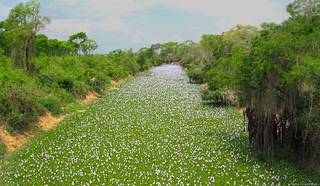 Aguapé - Jacinto-d'água | Water Hyacinth (Eichhornia crassipes)