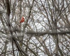 Northern Cardinal Upper Left (ralph miner) Tags: cardinal northerncardinal hawthornehill