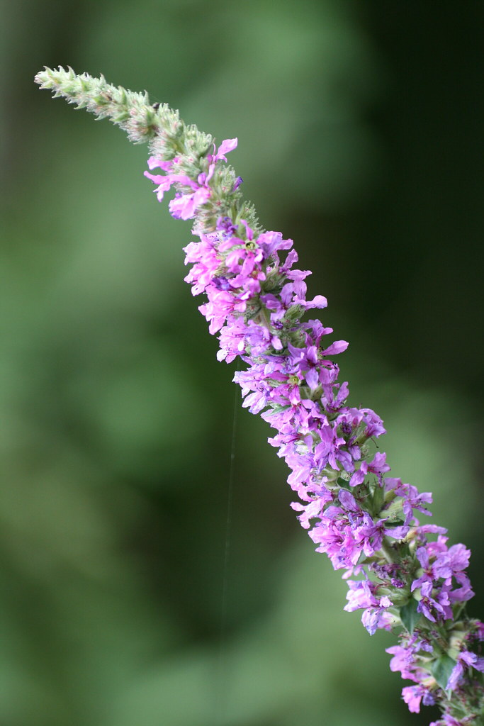 a study on purple loosestrife The plant is purple loosestrife (lythrum salicaria) problem based case study an exotic species has invaded and taken hold in the winga marsh purple.