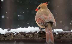 Just Chilling (Family Man Studios) Tags: winter snow nature birds canon cardinal wildlife delaware newark newarkdelaware backyardbirds 70d winterscenery delawareonline dougholveck