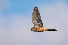 DSC_8712-Edit.jpg (Lee532) Tags: life uk wild bird nikon wildlife raptor prey tamron avian kestrel d610 150600mm