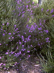 "Bellheather • <a style=""font-size:0.8em;"" href=""http://www.flickr.com/photos/27734467@N04/24970518092/"" target=""_blank"">View on Flickr</a>"