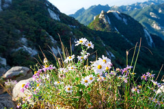 Flowers on Bukhansan mountains, South Korea. (tawatchaiprakobkit) Tags: park travel camping trees summer mountain flower nature field forest landscape freedom nationalpark rocks hiking meadow hike adventure national experience customized blossoming wilderness untouched vastness bukhansan flowerfield travailing