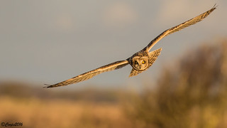Short Eared Owl - Asio flammeus