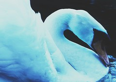 G R A C E (Peter Tatsis) Tags: ocean old blue sea sky inspiration black art ice nature fashion animal modern vintage naked landscape polaroid skinny photography sadness swan scenery perfect artist sad artistic folk grunge hipster style minimal pale vogue indie boho artifact blackswan paleblue perfection palegrunge