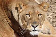 African Lion (kylennadine) Tags: africa wild cats nature saint animal animals cat photography zoo louis big feline african wildlife lion lions felines lioness zoos
