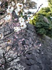 Edo-j White Plum Blossoms (Rekishi no Tabi) Tags: japan tokyo edo plumblossoms edocastle umeblossoms edojo