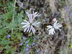 small flowered woodland star (Upupa4me) Tags: white nature washington spring anacortes wildflower washingtonpark lithophragmaparviflorum smallfloweredwoodlandstar