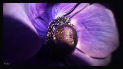 Anmone (celinelealina) Tags: macro fleur violine