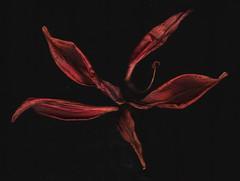 petals (91) (Beau Finley) Tags: flower washingtondc dc districtofcolumbia scanner scan petal scanned 365 finley scanography scanart beaufinley project365