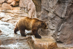 Grizzly Bear Travel (marzipan bunny) Tags: bear arizona zoo tucson 7 april grizzly grizzlybear zooanimals 2016 reidparkzoo zoophotography