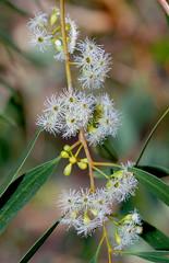 Eucalyptus yilgarnensis, Kings Park, Perth, WA, 24/03/16 (Russell Cumming) Tags: plant perth eucalyptus kingspark westernaustralia myrtaceae eucalyptusyilgarnensis