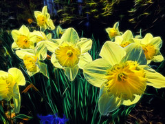 Listening to the daffodils (Remember To Breathe) Tags: flowers yellow glow psychedelic buzzed