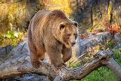 Grizzly Bear (Nick Maundu) Tags: walking wildlife grizzlybear