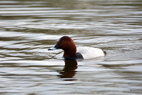 Pochard [M] - Wrafton Pond 05-04-2016 09-30-10