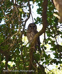 Barred Owl (Mike Woodfin) Tags: park tree bird beautiful leaves birds photoshop photography photo big wings pretty photos awesome beak picture large photograph owl huge prey fowl predator hoot barredowl hillsborough hoots plantcity lithia edwardmedardpark mikewoodfin mikewoodfinphotography