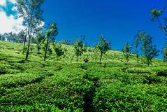 capture among the tea estate ([s e l v i n]) Tags: india green nature colors photographer natural tea candid kerala greenery irene munnar teaestate keralatourism keralatravel picturesofkerala selvin