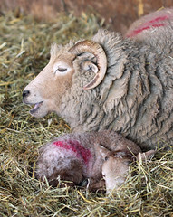 New Life! (RiverCrouchWalker) Tags: barn farm straw lamb essex walthamabbey newlife ewe leevalleypark leevalleycountrypark leevalleyparkfarms