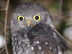 Ninox connivens; Barking Owl (quoll2) Tags: queensland barkingowl strigidae ninoxconnivens geo:country=australia sigma500mmf45exdgapo a77ii