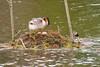 grèbe huppé (TATIUMZI) Tags: france eau sony tokina marais oiseaux sudouest aquitaine gironde leteich sonyalpha tokina30028 sonyalpha700