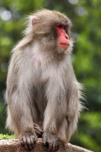Pavianmonkey
