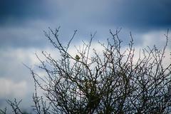 17042016DSC_0138.jpg (Ignacio Javier ( Nacho)) Tags: espaa flickr es facebook castillaylen naturea faunayflora sargentesdelalora