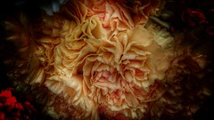Carnations. (PhotoMont) Tags: flowers catchycolors flickr flickrnature flickrenespaol pointofwiew fvac colourartaward