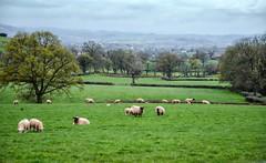 The English Countryside (Doolallyally) Tags: trees england sheep hills devon fields