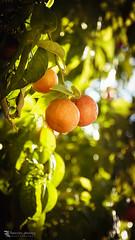 In my secret garden. (Franz - Jimenez) Tags: orange tree green nature fruit canon garden bokeh eos600d
